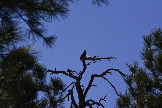 We spotted a bald eagle!