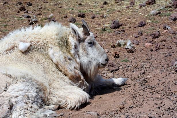Rocky Mt. Goat