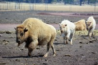 White Bison (baby in the rear)
