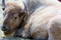Pregnant White Bison